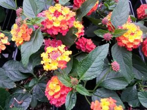 lantana sunrise rose