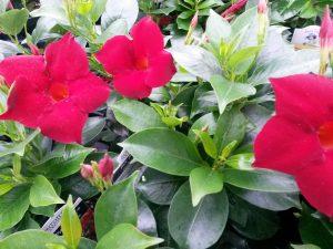 Sun Parasol Garden Crimson Mandevillea