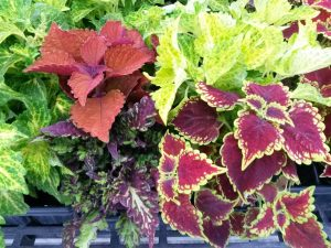 coleus main street oxford rodeo drive wall street riverwalk