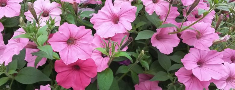 annuals that perform well in full sun  stoplight market, Natural flower